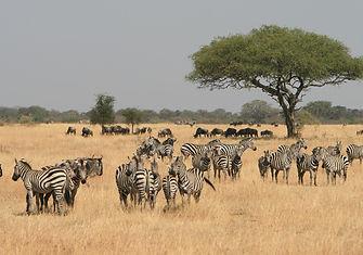 Serengeti - Zebras.jpg