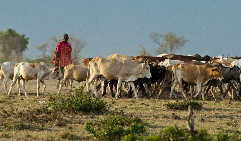 Masai herding cattle