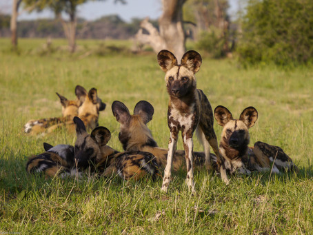 SUPPORT THE CONSERVATION OF THE AFRICAN PAINTED DOG IN ZIMBABWE