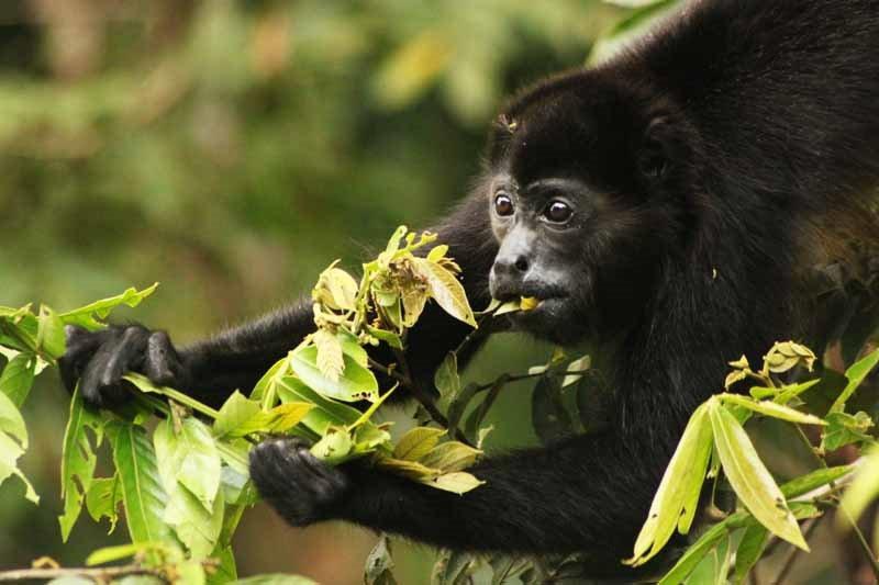 Howler monkey 3, leo chaves.jpg