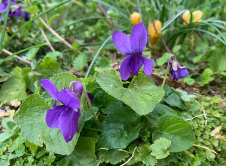 Macérât de violettes