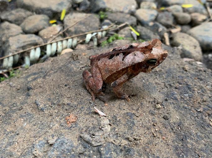 Leaf Litter Frog 2019