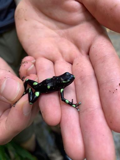 Poison Dart Frog 2019