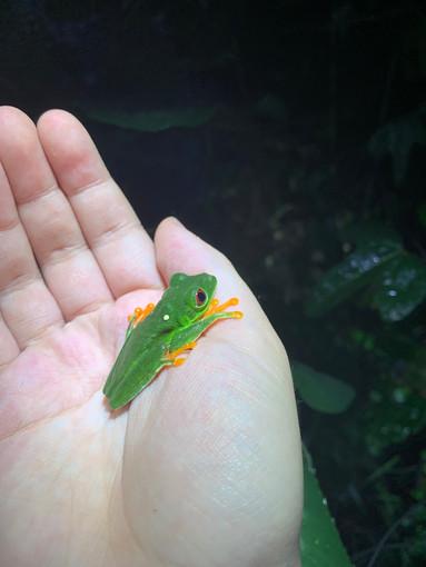 Red-Eyed Treefrog 2019