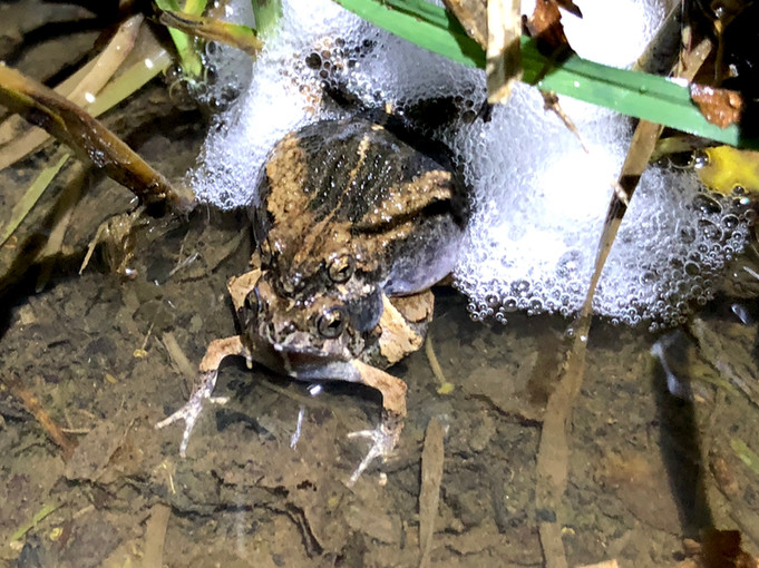 Túngara Frog Pair Making a Foam Nest