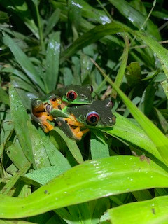 Red-Eyed Treefrogs in Amplexus 2019