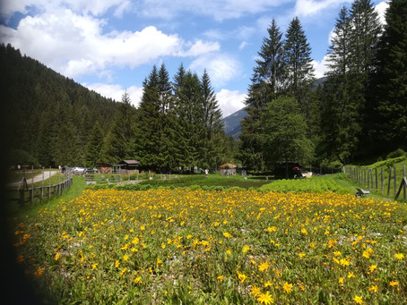 L'arnica rinasce in alta Val di Sole. E dà linfa all'economia in rosa
