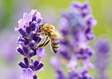 bee-on-lavender-close-up.jpg