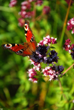 Papillon (1).JPG