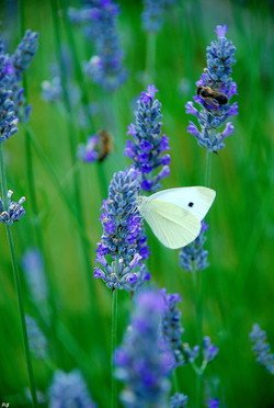 Papillon de chaleur.JPG