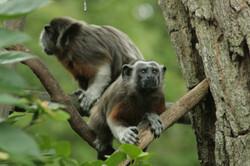 Proyecto tití gris - Zoológico de Barranquilla