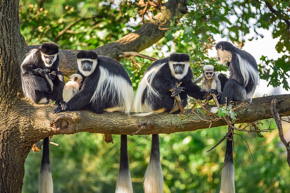 Mantled guereza monkeys (Colobus guereza) are among many species of 'howlers' assessed as endangered, often due to deforestation. Knowing fundamental demographics, such as fertility rates and how many adolescents survive to adulthood, equips scientists to assess whether populations can stave off these threats — and for how long.