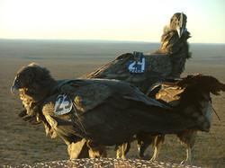 Cóndores andinos
