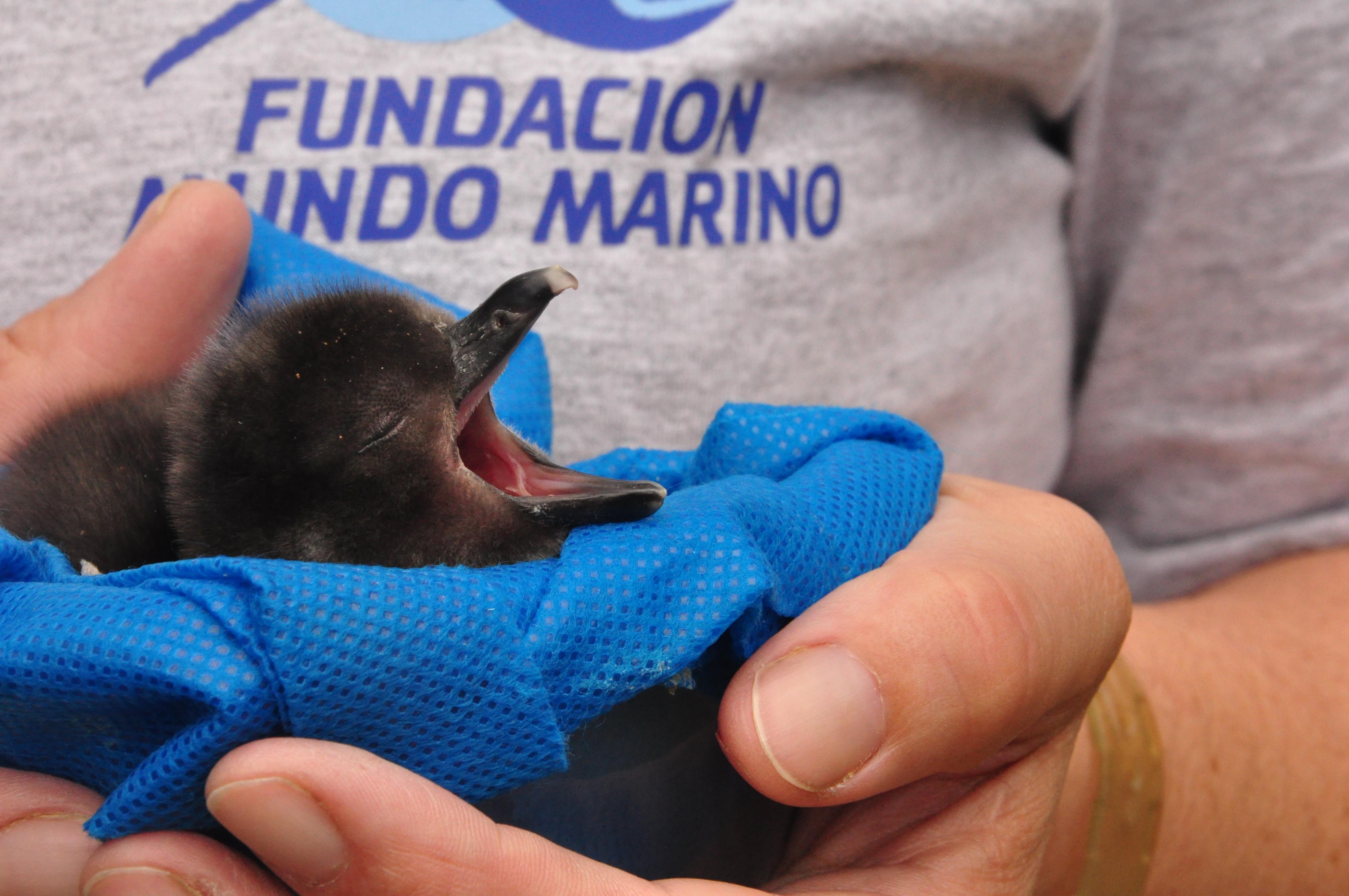 Cría de pingüino de Magallanes