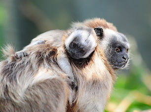 Tití_gris_Fundación_Zoológica_y_Botánica