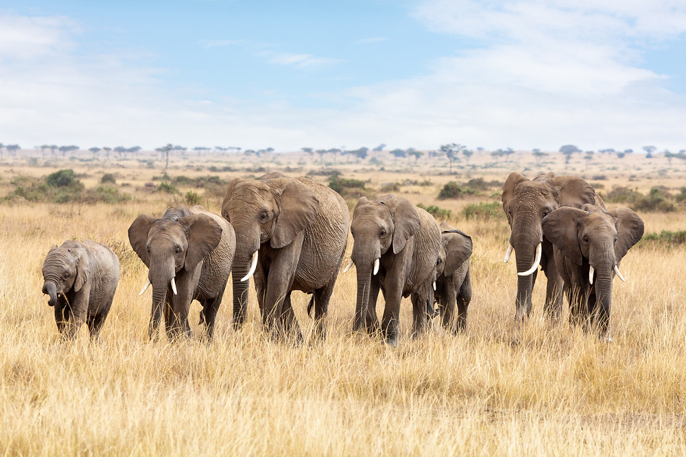 The Species Knowledge Index helps conservationists measure what we know for 32,411 species, such as these African Elephants.