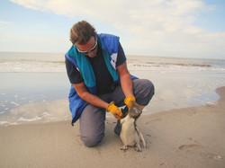 Reintroducción de pingüino de Magallanes