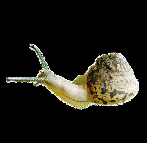 kisspng-snail-orthogastropoda-fig-snail-