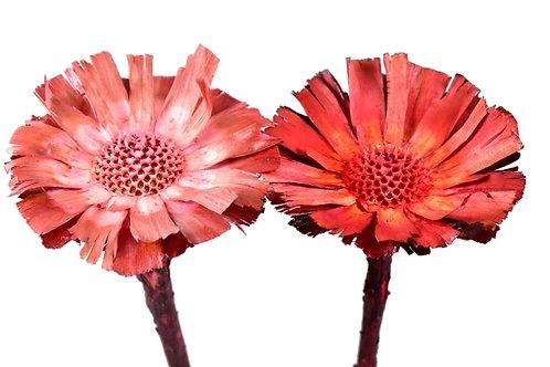 Protea rozeta 8/9 cm, mix prana, mar/crvena