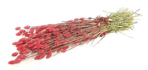 Phalaris, crveno roza