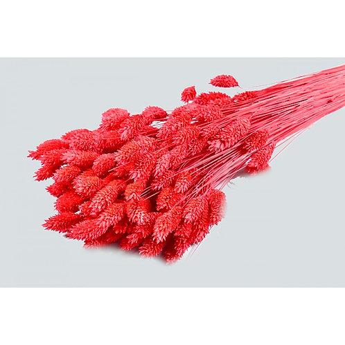 Phalaris crveni, 100 g