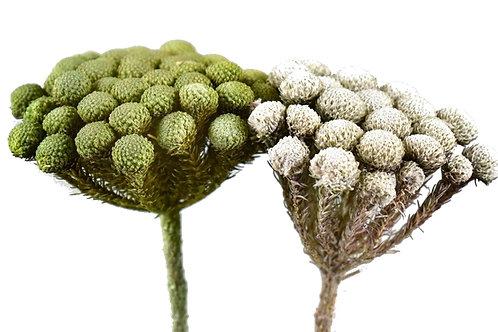 Abiflora mix, isprana zelena i bijela