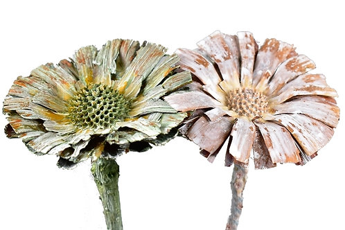 Protea rozeta 8/9 cm, mix prana, bijela zelena