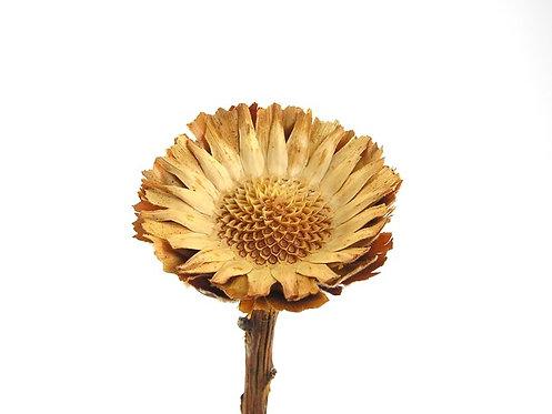 Protea mala krem natur