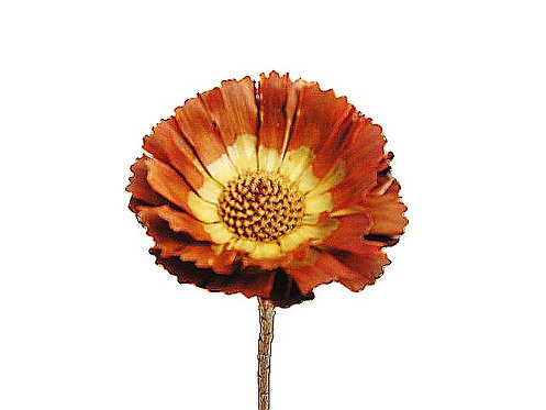 Protea rozeta - 8/9cm