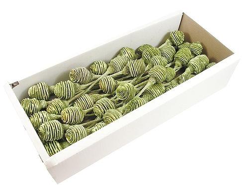 Platyspernum zeleni smrznuti