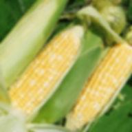 黄色の野菜分析
