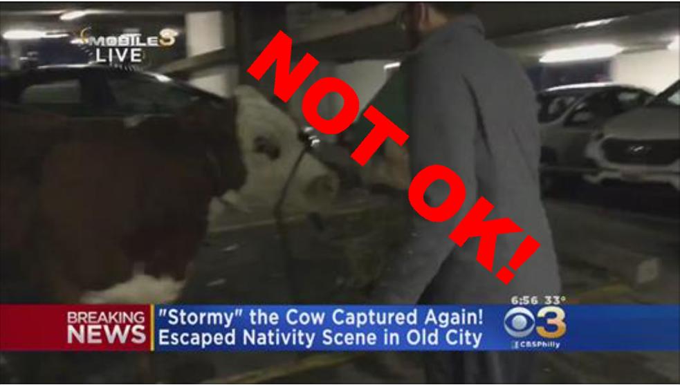 Stormy the Cow Philadelphia