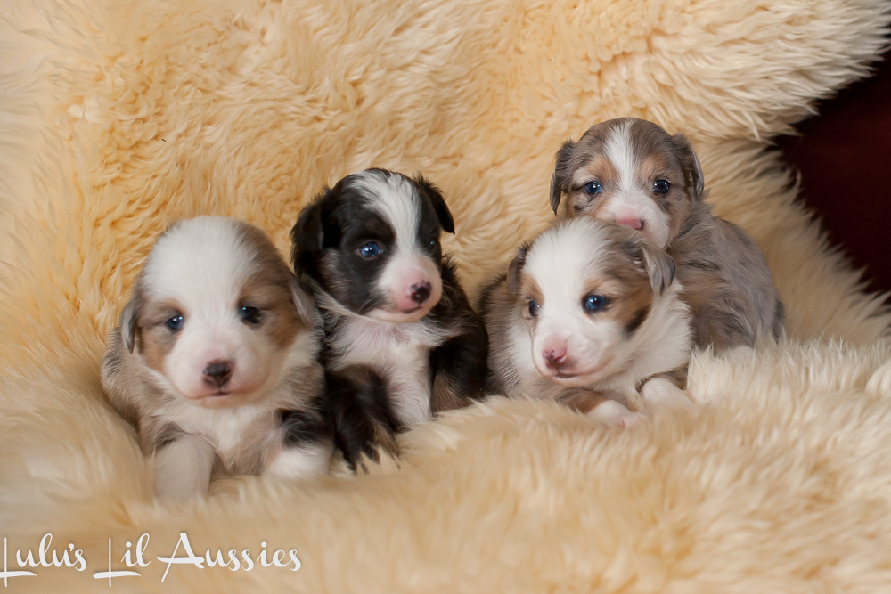 Toy, Teacup and Miniature Australian Shepherds