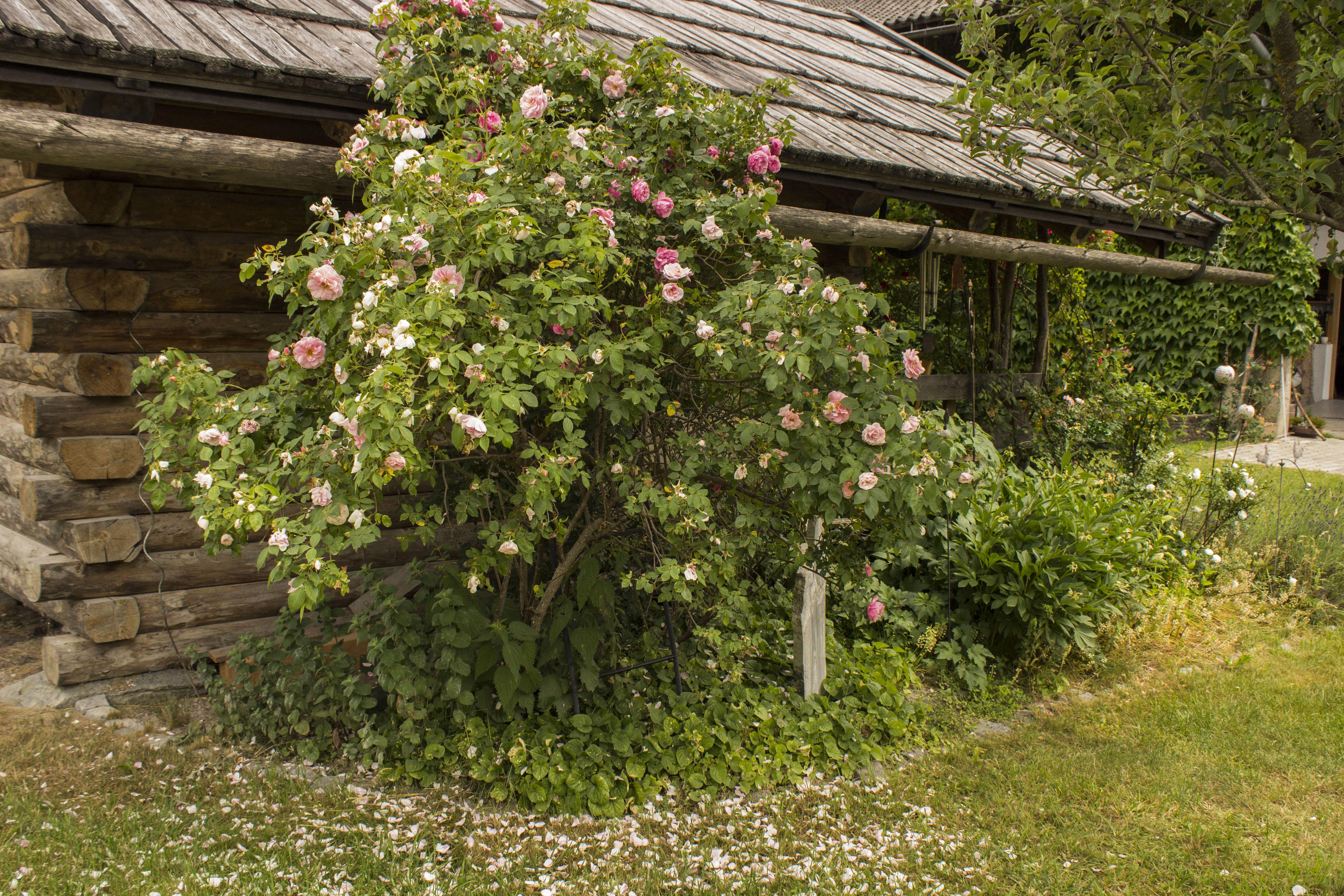 Rosenbusch bei der Kräuteralm