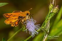 Mariposa en vernonia Juan Solari.jpg