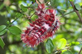 Larvas mariposa Argentina (2).jpg