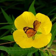 Ludwigia con mariposas.jpg