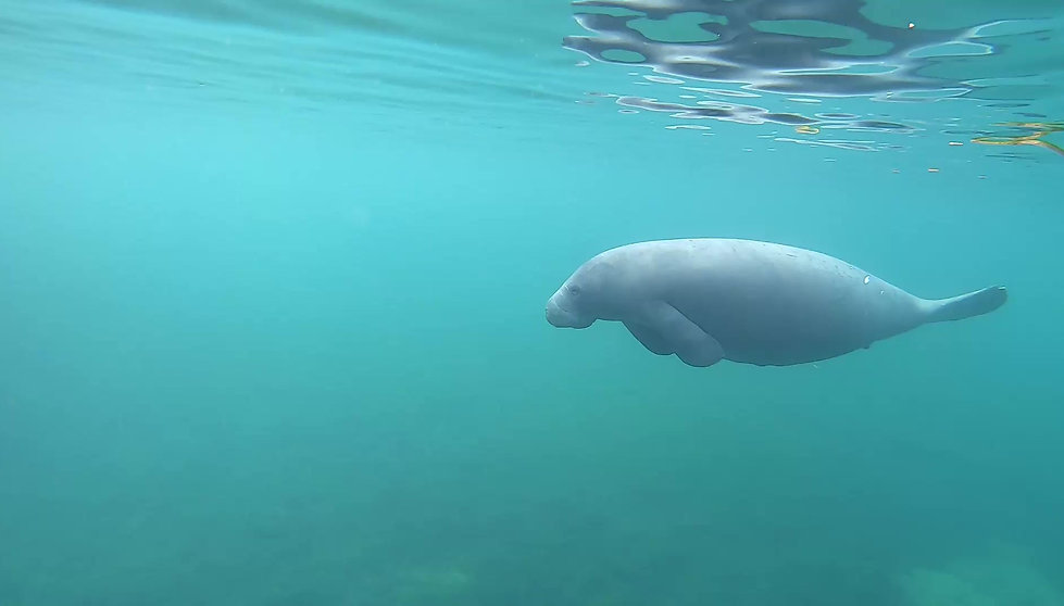 Swim with manatees tour in Crystal River, FL