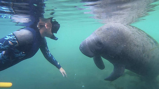 Swimming with manatees in Crystal River