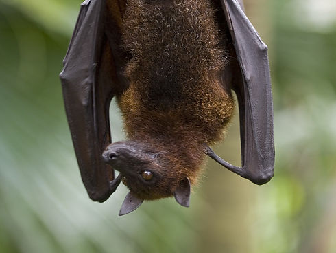 fruit_bat.jpg