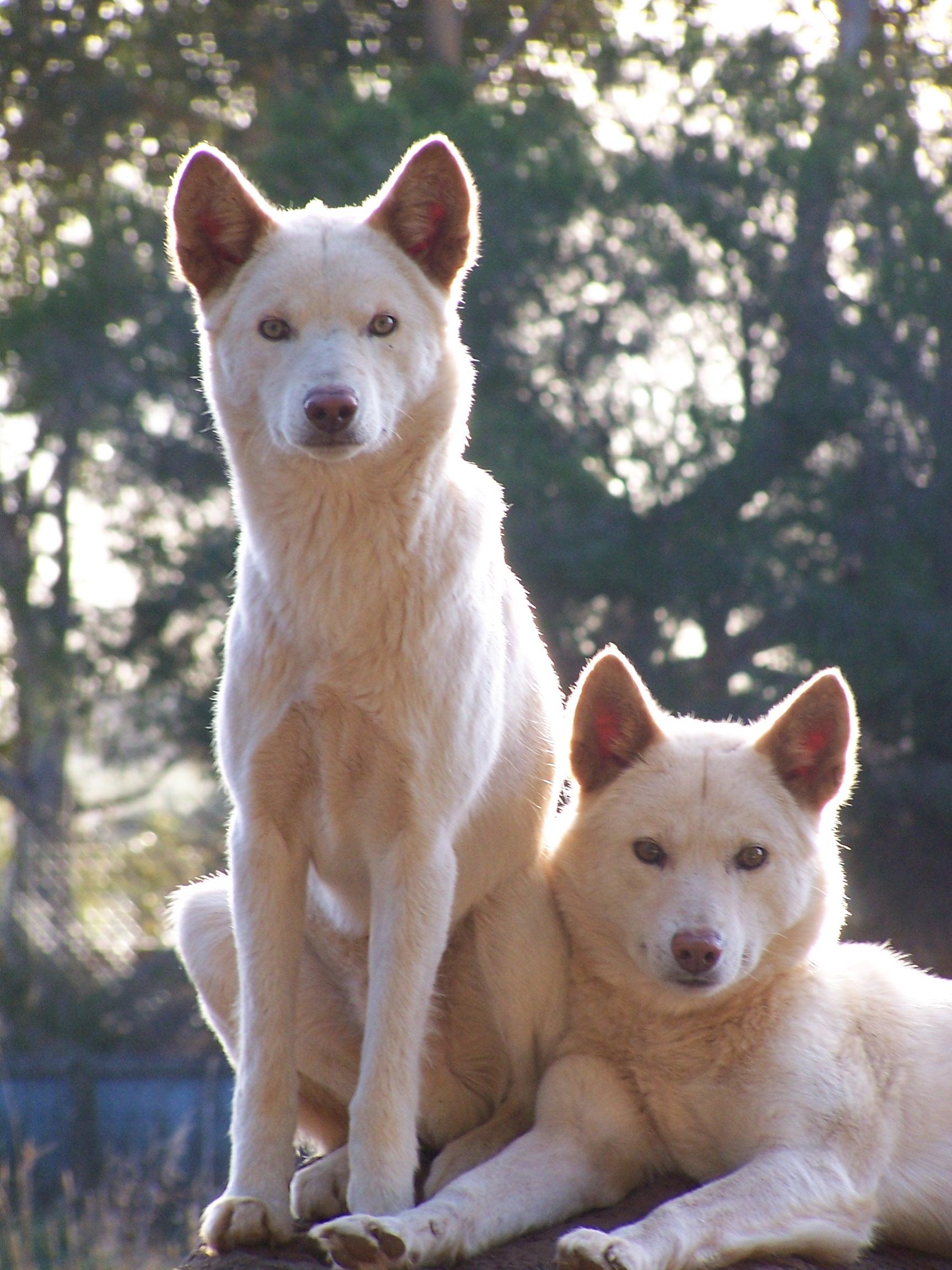 Alpine Dingo