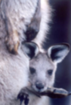 Joey in pouch close copy copy.jpg