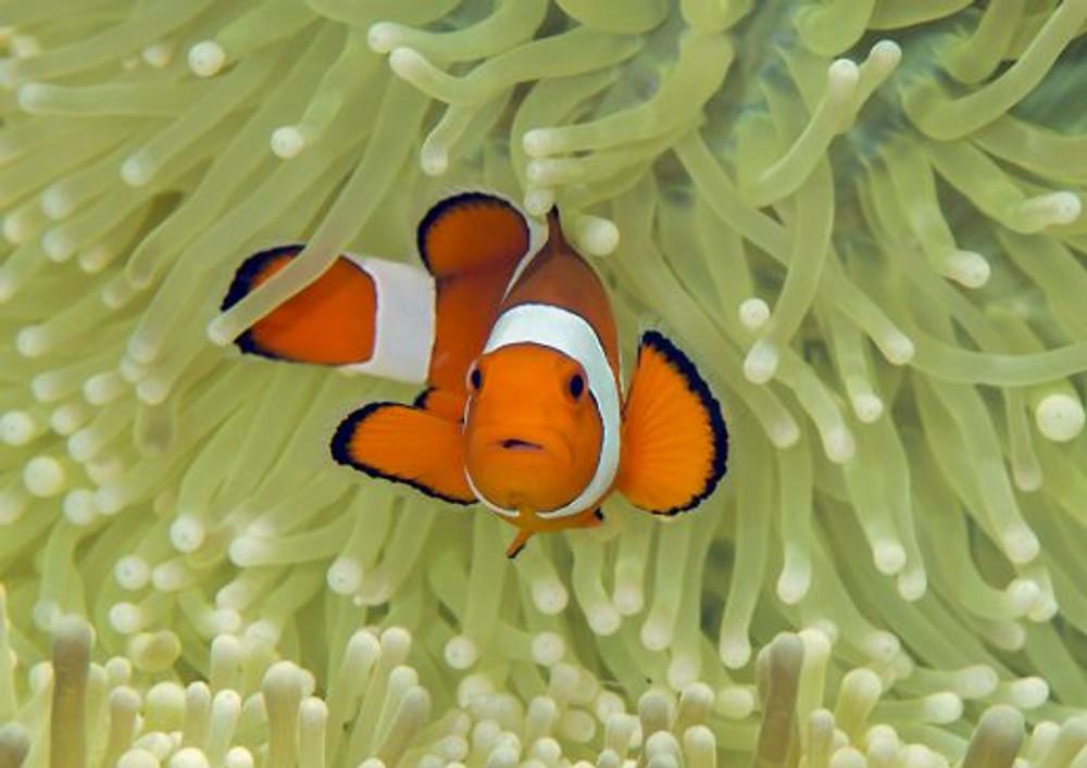 Nemo? É você?? (Imagem: Shutterstock)