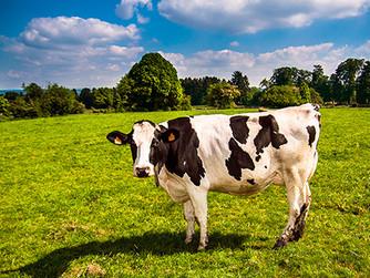 No hay vacas para tantas bocas