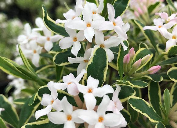 Daphne x burkwoodii 'Carol Mackie'