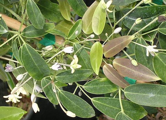 Holboellia coriacea