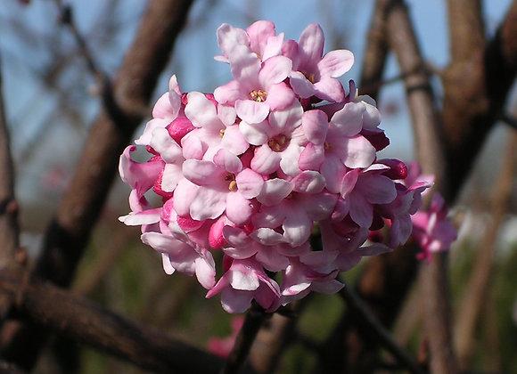 Viburnum bodnantense 'Dawn'