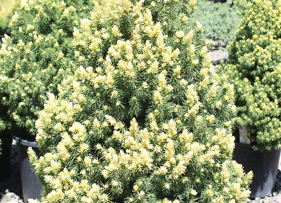 Picea glauca 'Candlelight'