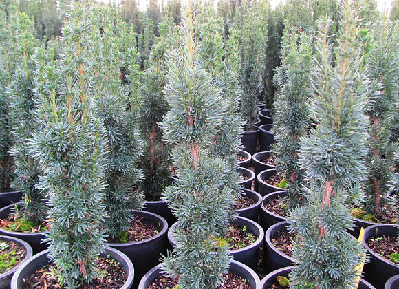 Taxus x media 'Beanpole'