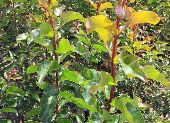 Lagerstromia x 'Arapaho'